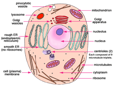 Important science diagrams from all chapters for cbse class 9 cell structure ccuart Images