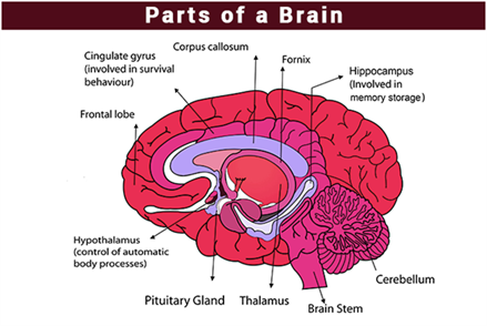 Important biology diagrams from all chapters for cbse class 11 human brain malvernweather Choice Image