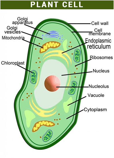 Important science diagrams from all chapters for cbse class 8 plant cell cell structure ccuart Image collections