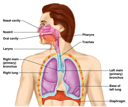 Important science diagrams from all chapters for cbse class7 respiratory system ccuart Choice Image