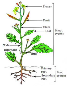 Important labeled biology diagrams for cbse class 6 science exams plant and its parts ccuart Image collections