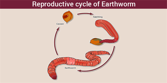 Reproductive cycle of Earthworm