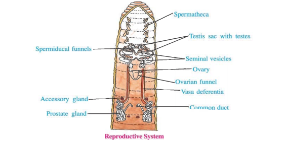 Earthworm Reproductive Diagram - Circuit Connection Diagram •