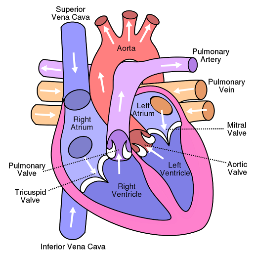 Human heart structurefunctions and facts about the human heart human heart ccuart Choice Image