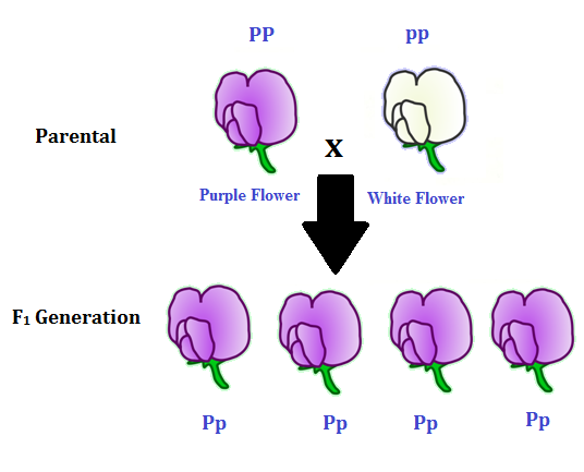Monohybrid cross generation