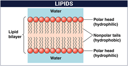 What does a lipid look like