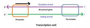 Transcription unit