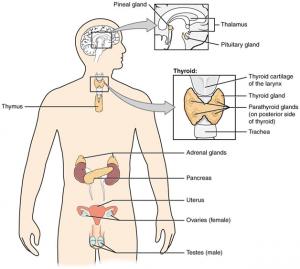 Physiology of endocrine system nervous system and immune system endocrine system ccuart Image collections