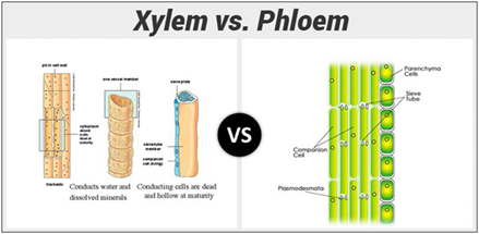 Differences Between Xylem And Phloem Major Differences