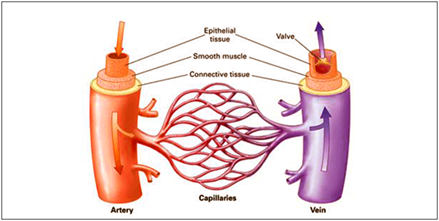 Difference between Arteries and Veins - Human Anatomy | Byju's
