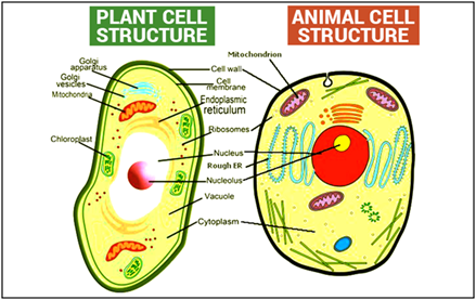 Difference Between Plant and Animal Cell - Structural ...