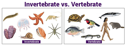 Invertebrate And Vertebrate
