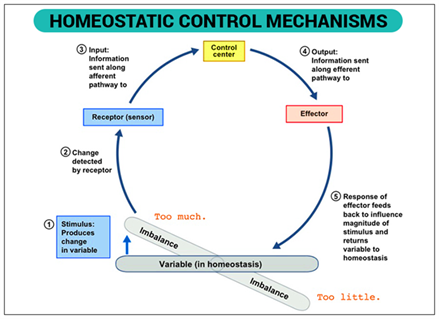 What Is Homeostasis Definition Amp Examples Homeostasis
