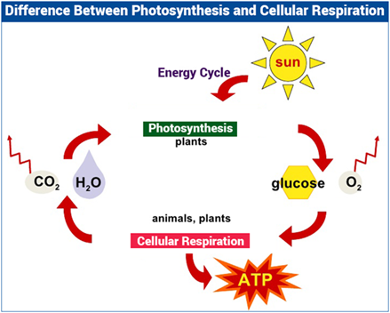 diagram that expresses the relationship between photosynthesis and cellular respiration
