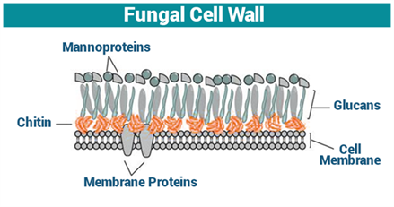 Fungal Cell Wall | Cell Wall Function | Fungi - Structure ...