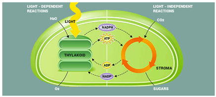 Light Dependent Reactions Definition Mechanism And Process Byjus