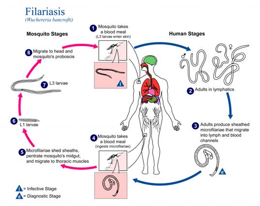 Filariasis Cycle