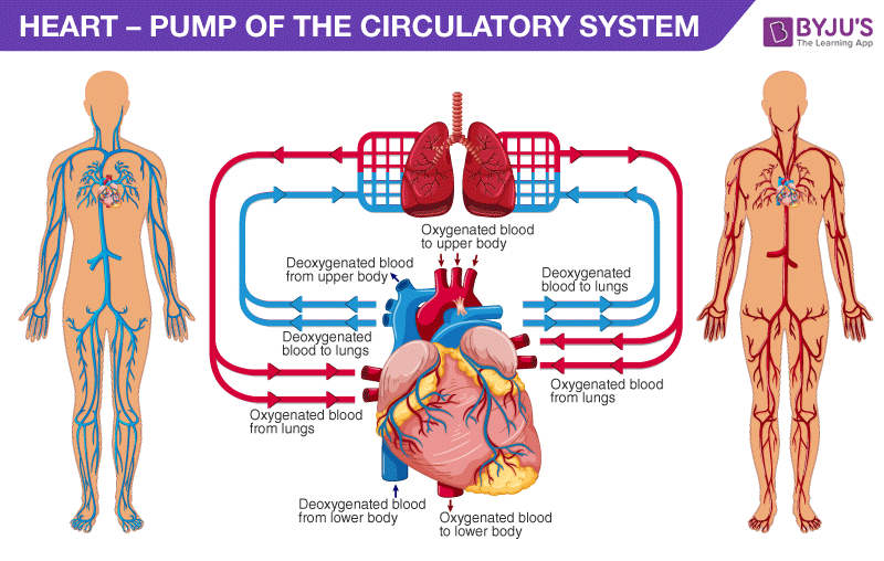HEART- PUMP OF THE CIRCULATORY SYSTEM