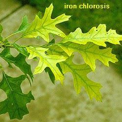 IronChlorosis