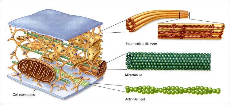 Microtubules- Structure,Functions and Intracellular ...