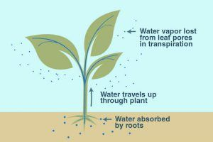 Transpiration In Plants | How Does Humidity Affect Rate of ...