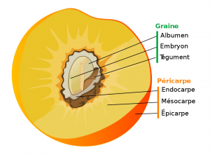 Parts of a true fruit