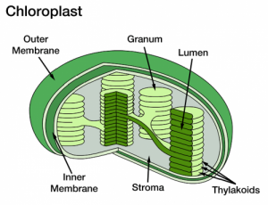 Photosynthesis stages factors and importance of photosynthesis photosynthesis occurs mainly in leaves of specialized cell structures known as chloroplasts ccuart Images