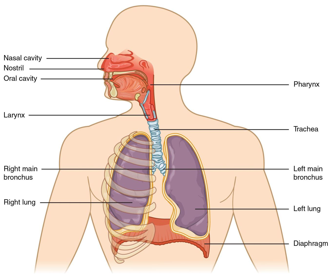 Diagram of parts of respiratory system auto wiring diagram today respiratory system parts functions of human respiratory system rh byjus com human circulatory system diagram labeled ccuart