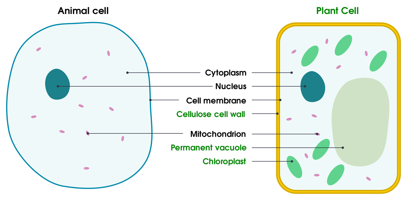 Plant Cell vs Animal Cell - Difference and Comparison