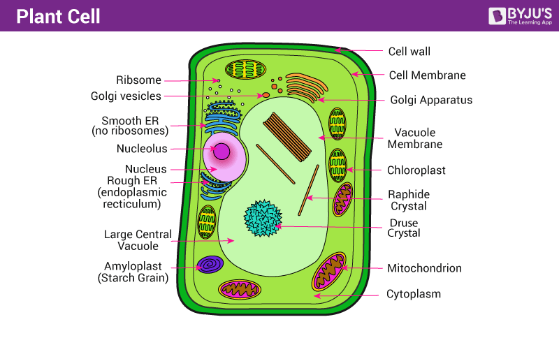 Plant cell structure function of plant cell types of plant these differences can be seen only when the cells are examined under the electron microscope thus the unique feature of a plant cell publicscrutiny Image collections