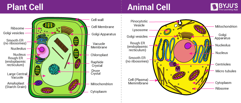 Difference between plant and animal cell structural differences plant cell and animal cell ccuart Images