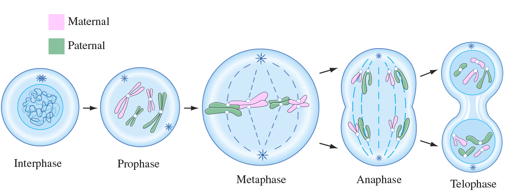 an overview of the processes of mitosis and cytoplasmic cell division The cell cycle and cell division overview:  demonstrate the processes of  are involved in nuclear division (mitosis) and in cytoplasmic.