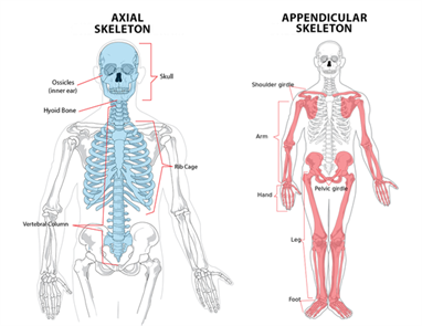 The Axial and Appendicular skeleton.