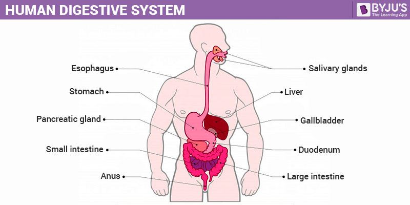 Human Digestive System-Structure and Function of Digestive System