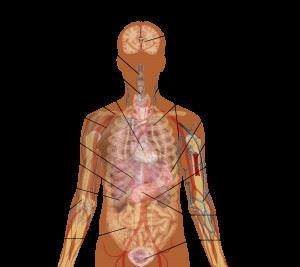 Human Anotomy