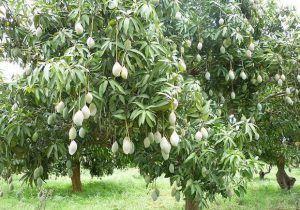 Angiosperms - Mango Tree
