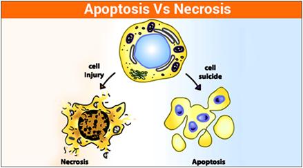Apoptosis vs Necrosis