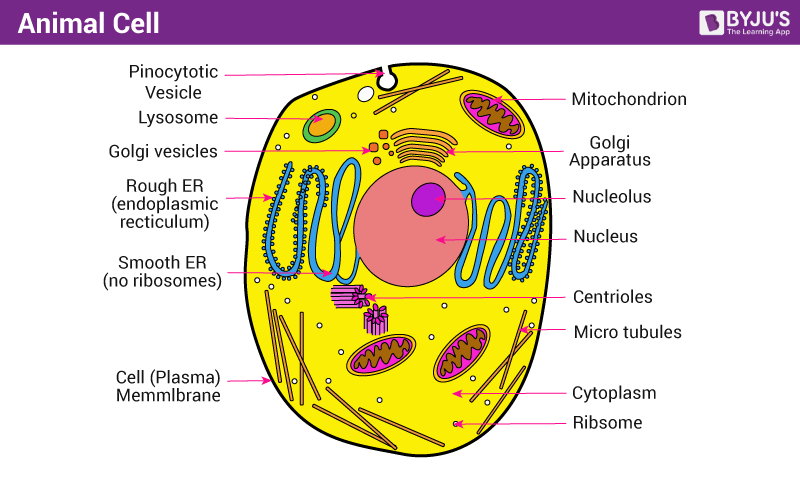 Animal cell structure function and types of animal cell animal cell structure ccuart Images