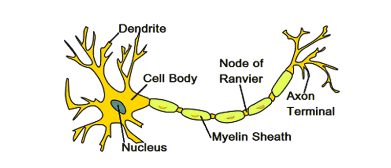 how are the shapes of cells related to their function - function, types & structure nerve cells are the primary cells in the nervous system they are responsible for relaying electrical messages to cells and tissues in other organ systems.