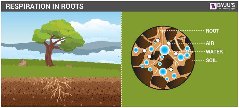 Respiration in Roots