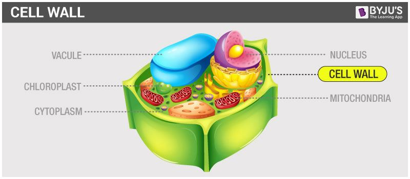Cell wall and cell membrane structure functions and differences the cell wall is the outermost covering of plant cells it is present outside the cell membrane and is tough flexible and sometimes rigid in its texture ccuart Image collections