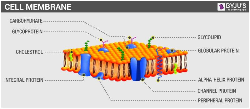 Cell Wall And Cell Membrane Structure Functions And Differences