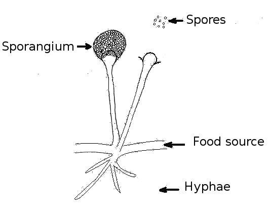 Kingdom    Fungi    Structure  Characteristics and its