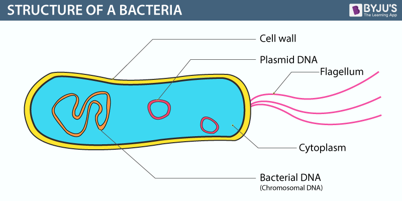 structure of bacterial cell diagram bacteria -structure,classification,reproduction and its ... simple diagram of molecular structure of dna