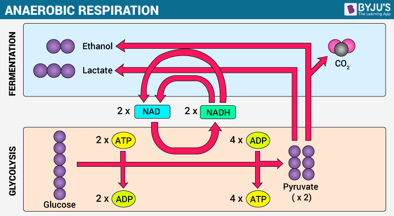 Overview of cellular respiration aerobic anaerobic respiration cellular respiration aerobic vs anaerobic ccuart Gallery