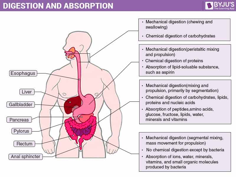 Digestion-and-Absorption