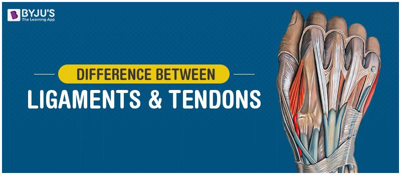 Difference Between Ligaments and Tendons