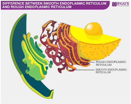 Difference Between Smooth Endoplasmic Reticulum And Rough Endoplasmic Reticulum