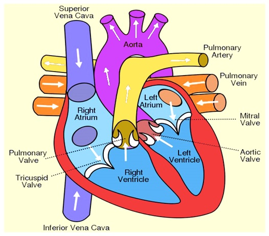 Heart diagram anatomy of heart different parts of the for Exterior of heart diagram