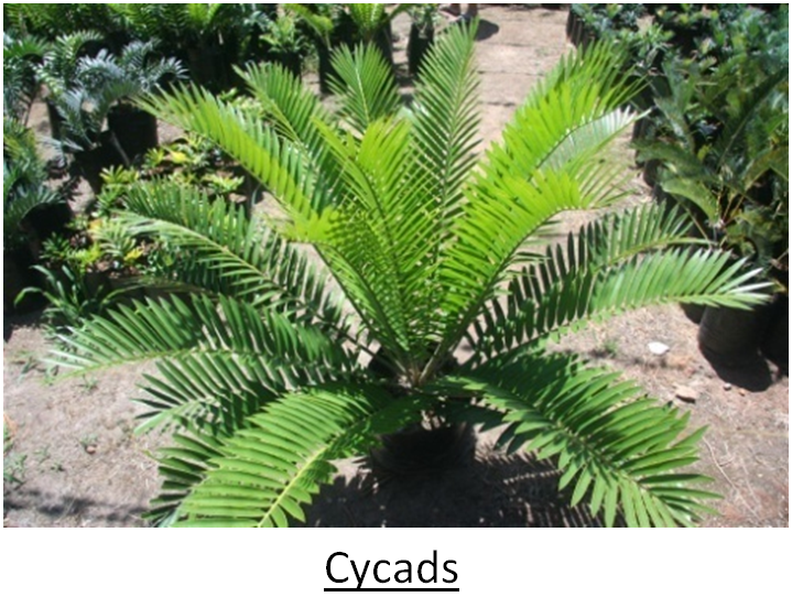 c1 Classification of Gymnosperms